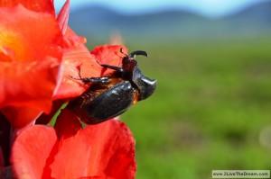 gigantic rhino beetle