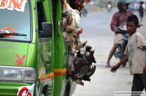 Chicken transport in Timor Leste