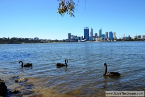 Perth - blank swans on the swan river