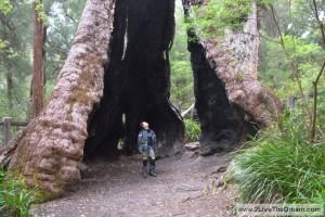 Hollow Karri tree