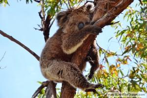Sleepy koala....